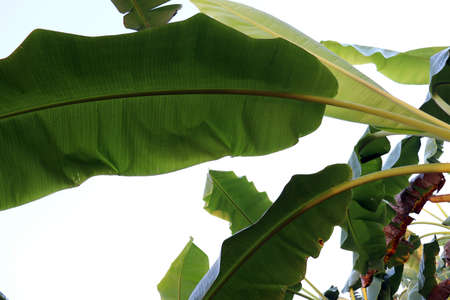 green colored banana leaf closeup on tree in firm