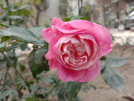 pink colored rose closeup on tree in firm