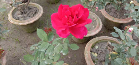 red colored rose closeup on tree in firm