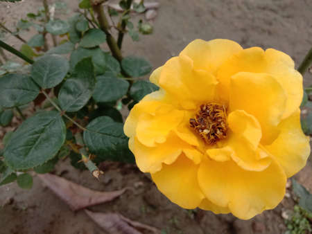 yellow colored rose closeup on tree in firm