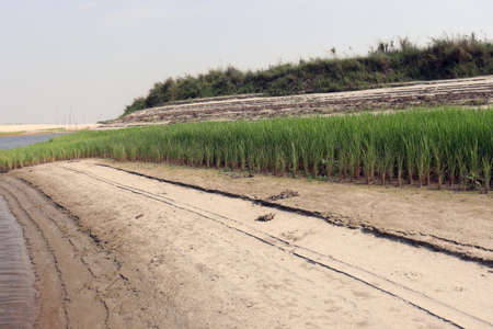 paddy firm on near of lake and nature 免版税图像