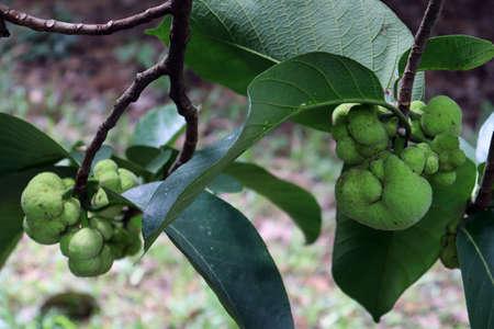 green colored fresh Artocarpus lacucha stock on tree in the farm for harvest
