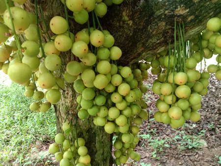tasty baccaurea motleyana stock on tree in the farm for harvest 免版税图像
