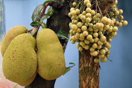 tasty baccaurea motleyana and jackfruit on tree in the farm for harvest 免版税图像