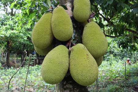 tasty and healthy raw jackfruit stock on tree in the farm for harvest