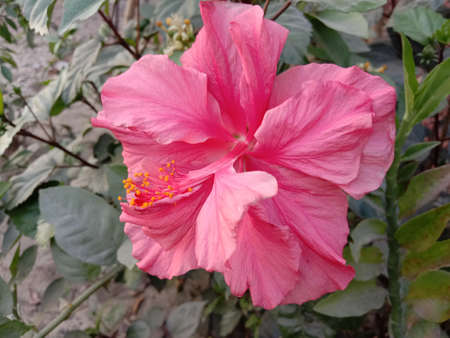pink colored chinese hibiscus flower on tree in the farm for harvest 免版税图像