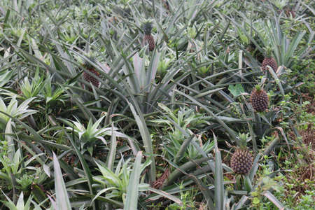 tasty and healthy pineapple on firm for harvest and sell 免版税图像