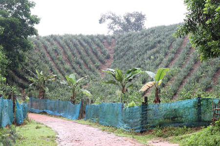 The pineapple farm is on a hill of soil for harvest