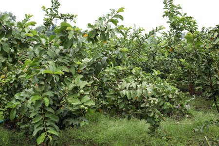 tasty and healthy guava on tree in firm for harvest and sell