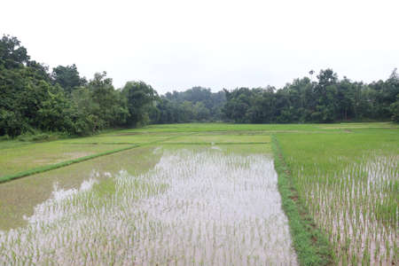 green colored paddy firm on field for harvest 免版税图像