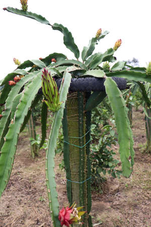 dragon-fruit on tree in firm for harvest and sell