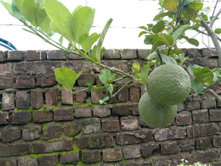 green colored citruses tree on farm for harvest and sell