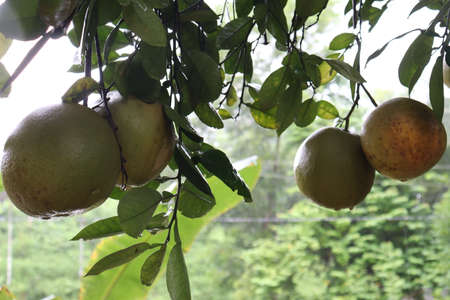 tasty and healthy grapefruit bunch on tree in farm for harvest and sell