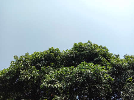 green colored mango tree with leaf and sky