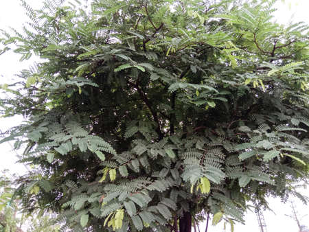 green colored tamarind leaf on tree in farm for harvest and sell 免版税图像