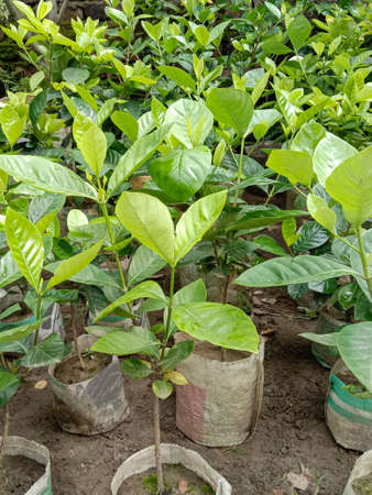 green colored jackfruit tree farm for harvest and sell