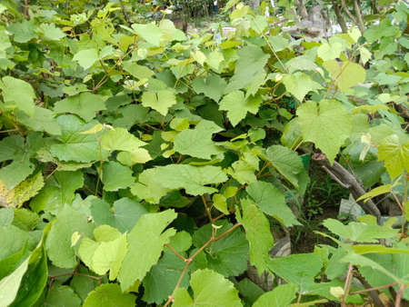 green colored grape tree stock on farm for harvest and sell