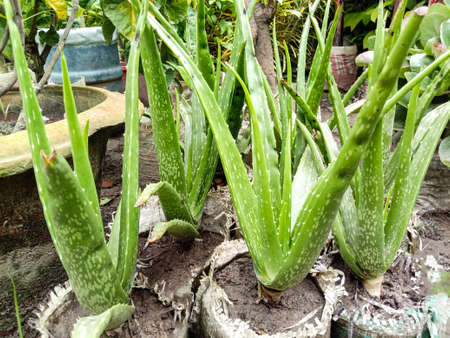 green colored healthy aloe vera tree farm for harvest and sell
