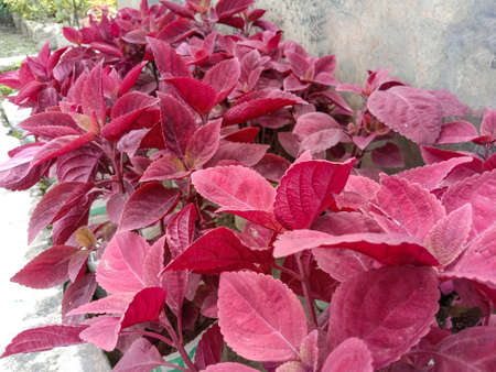 red colored beautiful tree with leaf on garden for sell 免版税图像