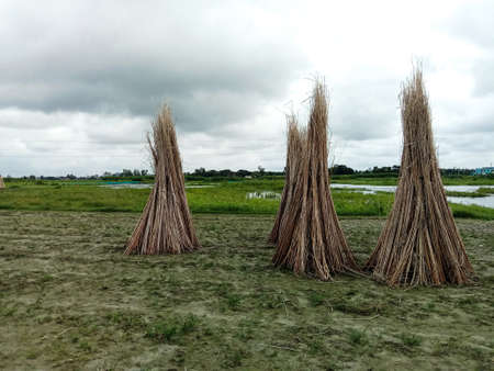 jute stick bunch stock on field for drying or sell