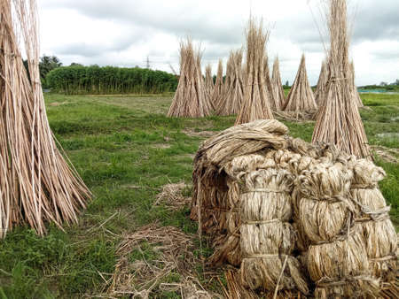 jute and stick bunch stock on farm for drying and sell