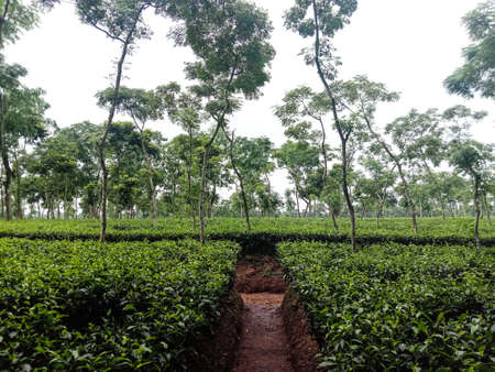 green colored tea leaf on tree in farm for harvest and sell 免版税图像