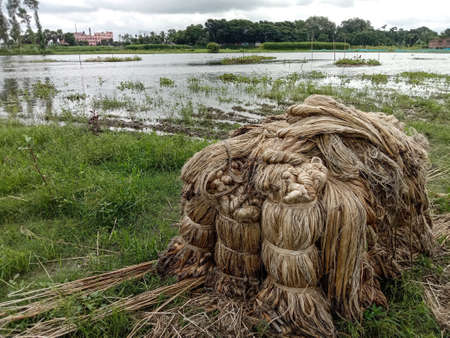 jute bunch stock on farm for drying and sell