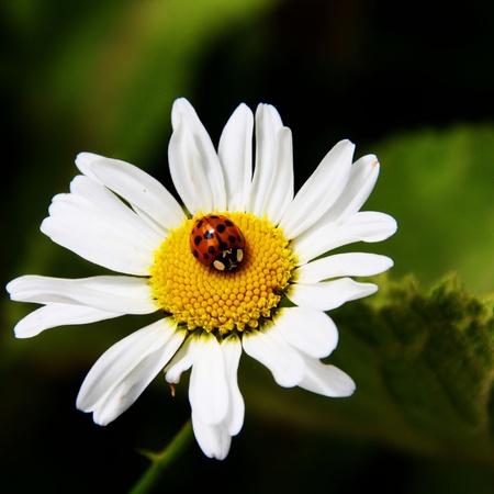 Ladybird resting on a Daisy photo