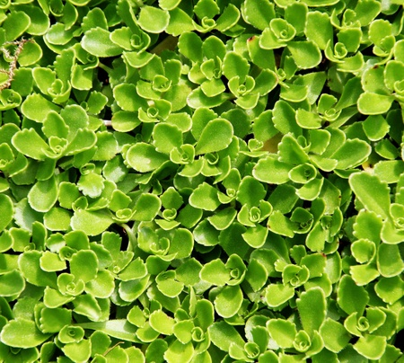 Succulent Carpet
