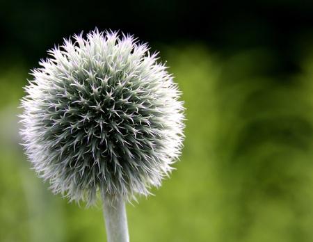 Single Puff Ball Flower