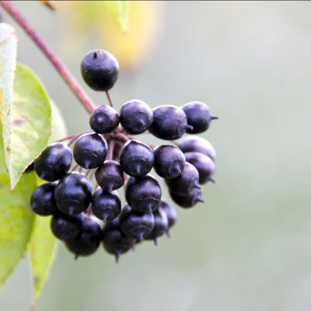 Black and shiny bunch of berries on a tree Stock Photo