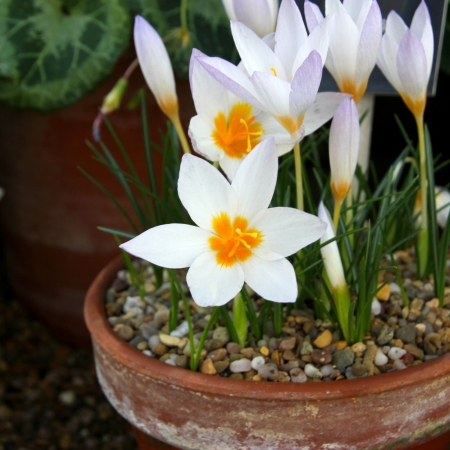 centres: Tiny white crocus flowers with orange centres in pots