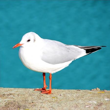 Sea Gull sitting on a concrete birdbath photo