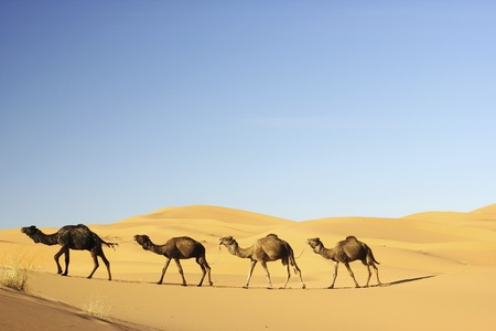 morocco: Camel caravan in the Sahara desert