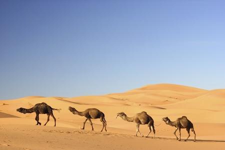 サハラ砂漠でのラクダのキャラバン