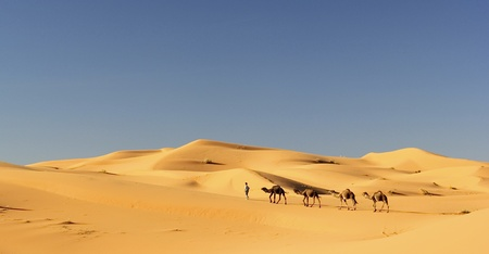 camel: Camel caravan in the Sahara desert