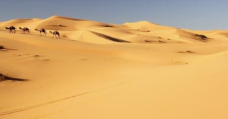 arabic desert: Camel caravan in the Sahara desert