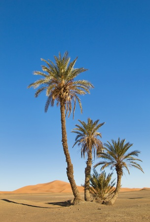 arabic desert: palm tree in the Sahara desert