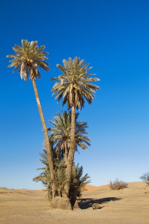 africa tree: palm tree in the Sahara desert