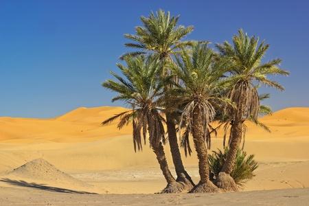 desierto: palmera en el desierto del Sahara