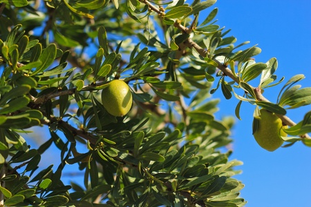 argan: argan tree in Morocco Stock Photo