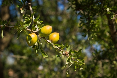Argan tree in Morocco photo