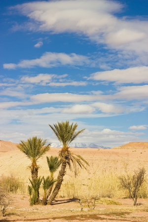 oasis: palm tree in the Sahara desert