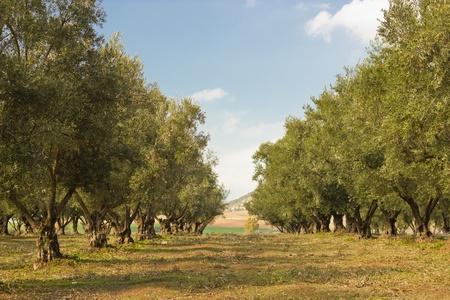 モロッコのオリーブの木のプランテーション 写真素材