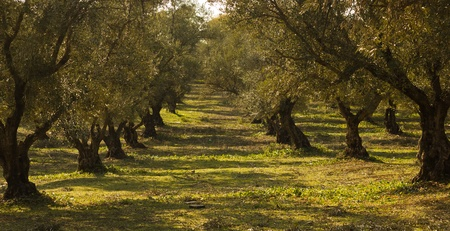 Aanplant van olijfbomen in Marokko Stockfoto - 12654052