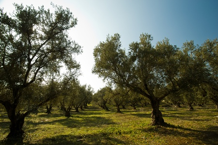 Aanplant van olijfbomen in Marokko Stockfoto