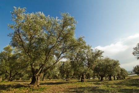 olive trees: Plantation of olive trees in Morocco