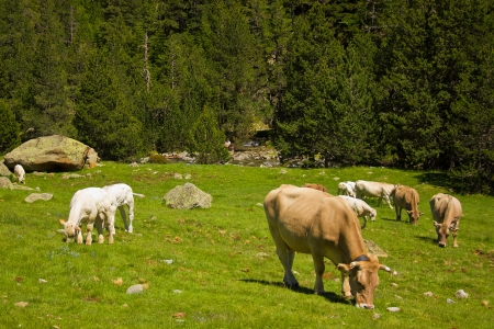 kine: Cows on a green pasture near the  Pyrenees mountains