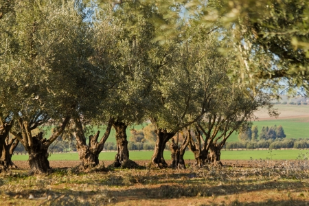 Plantation of olive trees in Morocco photo