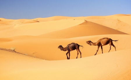 Camel caravan in the Sahara desert, Morocco photo